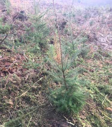 After Photo: Pine Tree Freed From Gorse