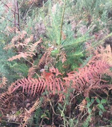 Before Photo of Fir Tree Getting Suffocated By Bracken & Brambles